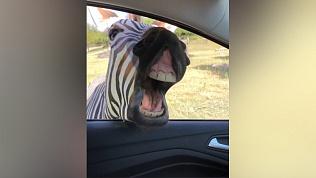Любопытная зебра заглянула в машину к туристам и попала на видео