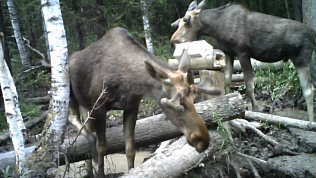 Лоси, рысь и волк попали в фотоловушку «Таганая»