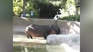 Посетитель зоопарка отшлепал бегемота и попал на видео