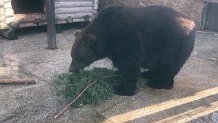 Медведь Степан начал подготовку к зимней спячке