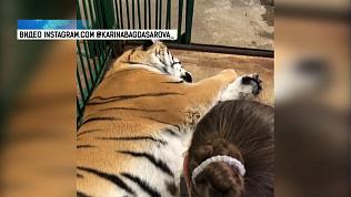 Тигрица Зена проходит обследование