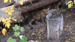 Дикая лиса пожаловала в гости к новосинеглазовцам