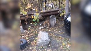 Жителей Челябинска напугала дикая лиса