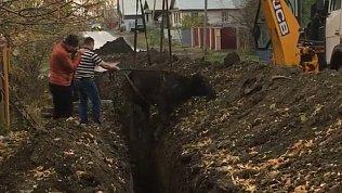 Корова провалилась в яму в поселке Кунашак