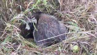 Челябинские зоозащитники спасли дикого енота, попавшего под машину на трассе