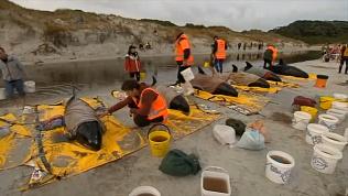 Карликовые касатки выбросились на берег в Новой Зеландии