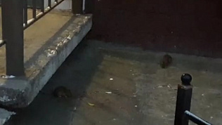 Стаи крыс у подъезда в центре Челябинска напугали местных жителей