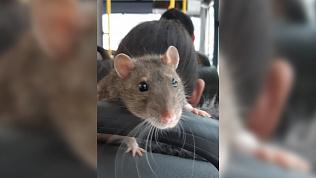 Крыса в одной из маршруток Челябинска шокировала местных жителей