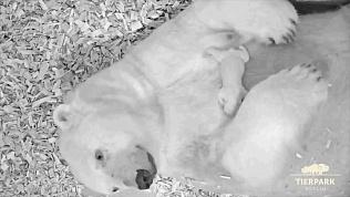 Российская белая медведица родила в Берлине