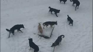 Стаи агрессивных собак возле детсада напугали жителей Коркино. ВИДЕО