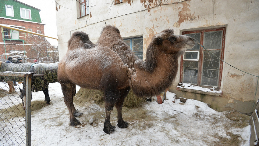 В Челябинске накануне Нового года спасают от замерзания и смерти символ города – верблюда