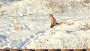 Лисица со «здоровенным хвостярой» удивила жителей Миасса. ВИДЕО