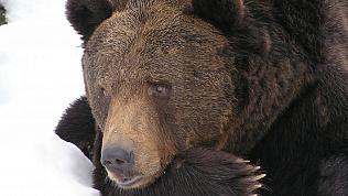 Со страдающего бессонницей медведя в Снежинске сняли охрану