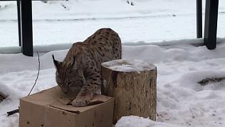 Даже большие кисы любят коробки. В Челябинском зоопарке придумали игру для рыси