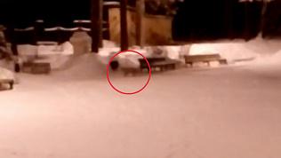 Голодная лисица в озерском парке попала на видео