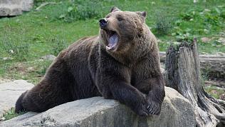 Медведя, уснувшего неподалеку от Снежинска, поймают сразу после пробуждения