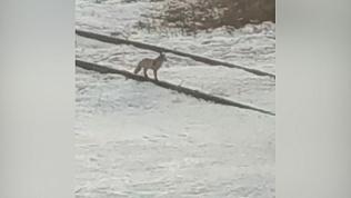 Лисица бегает по Тракторозаводскому району Челябинска. ВИДЕО