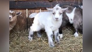 В Челябинском зоопарке родились козлята. Осторожно, умилительное видео