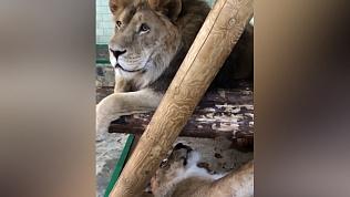 Как нежатся большие кошки в зоопарке. ВИДЕО
