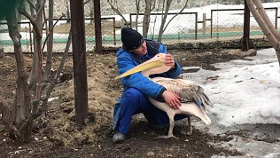Орнитологу челябинского зоопарка удалось обнять розового пеликана в День птиц