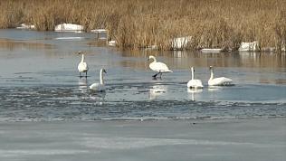 На Южный Урал раньше времени прилетели лебеди. ВИДЕО