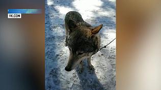 В парке Гагарина волк покусал мальчика
