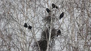 Жителей Челябинска окружили дикие совы и грачи