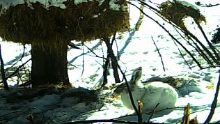На Черной скале Таганая теперь можно повстречать зайца-беляка. ВИДЕО