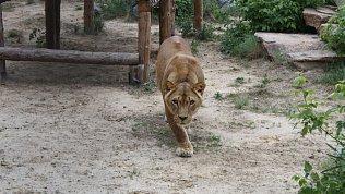 Челябинский зоопарк простился с любимой питомицей — львицей Викторией