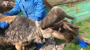 В Челябинском зоопарке «стилист» поработал с сезонной линькой северного оленя