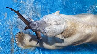 В Челябинском зоопарке белые медведи дали «мастер-класс» по рыбалке