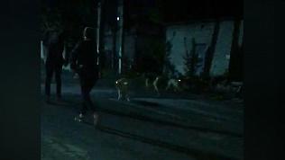 Жительница Златоуста пожаловалась на стаи бездомных собак в ее дворе