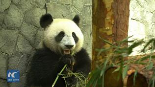 Китай подарил Московскому зоопарку двух панд и они смешные. ВИДЕО