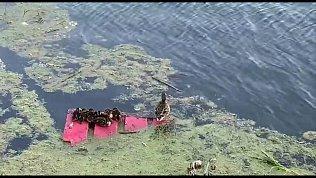 Уточки на реке Миасс приютились на куске мусора