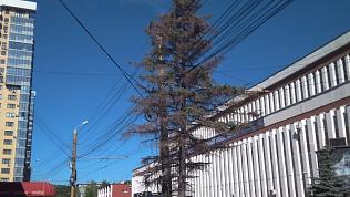 В Челябинске засохшие деревья заменят на новые