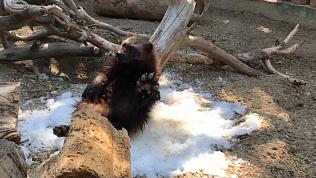 В Челябинском зоопарке танцует росомаха