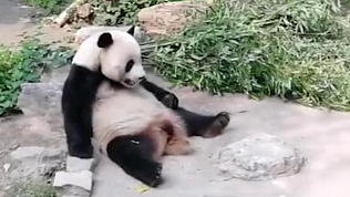 В Пекине посетители зоопарка закидали панду камнями