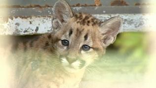 В Челябинском зоопарке котенок пумы официально «вышел в свет»