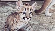 Вчелябинском зоопарке засняли на видео котенка пумы