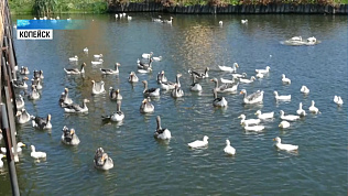 В «санатории» для птиц поселились утята