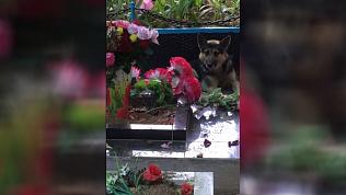 Челябинские кинологи объяснили, чем собаку в Миассе привлекла могила девушки