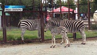 В зоопарке родился жеребёнок зебры