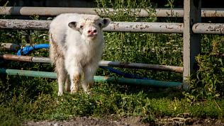 В Челябинском зоопарке вышел в свет телёнок яка