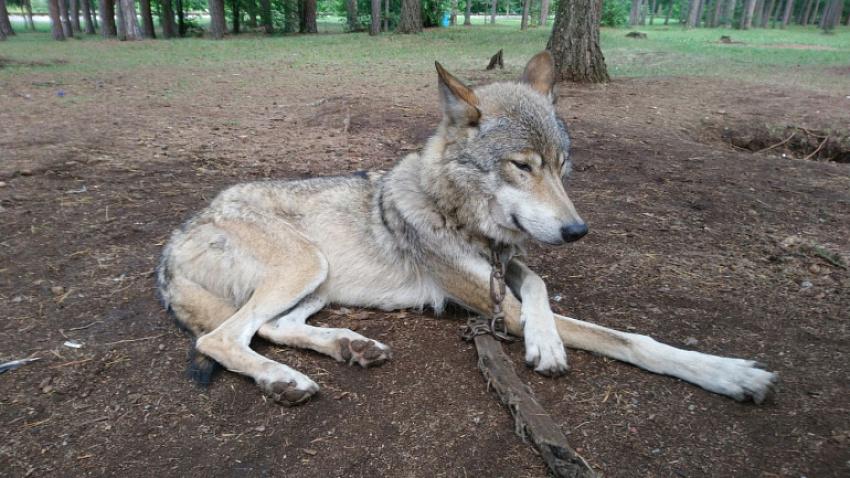 Владелец волкособа выплатит компенсацию за нападение животного на ребенка