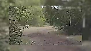 Магнитогорцы встретились с бурым медведем