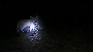 Жители Магнитогорска встретили лису