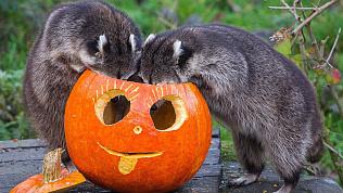 Челябинскому зоопарку требуются тыквы