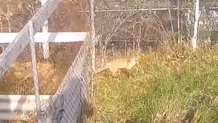 В Златоусте дикая лисица вышла к людям в поисках еды