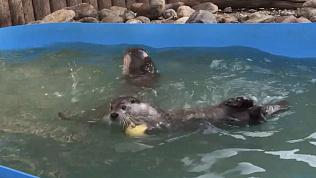 Видео из зоопарка: тыква – лучший друг выдры