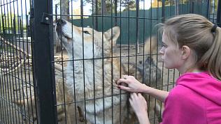 Чесаться или кусаться? Видео с волками из челябинского зоопарка